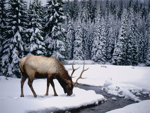 Wallpaper-winter-landscape-stag in Beautiful Christmas and Winter Wallpapers For Your Desktop