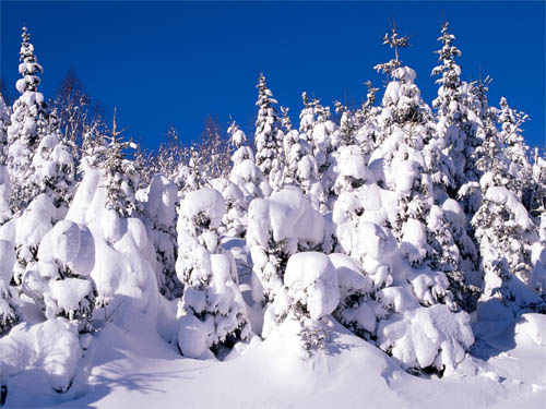 Wallpapers-landscape-winter-snow-covered-spruce-trees in Beautiful Christmas and Winter Wallpapers For Your Desktop