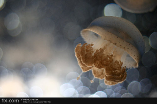 Dreaming Jellyfish