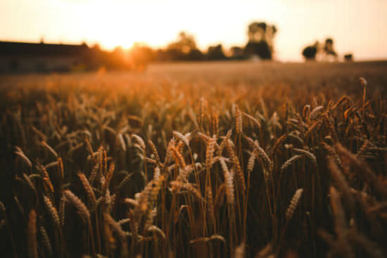 kaboompics_Sunset_&_field_of_grain