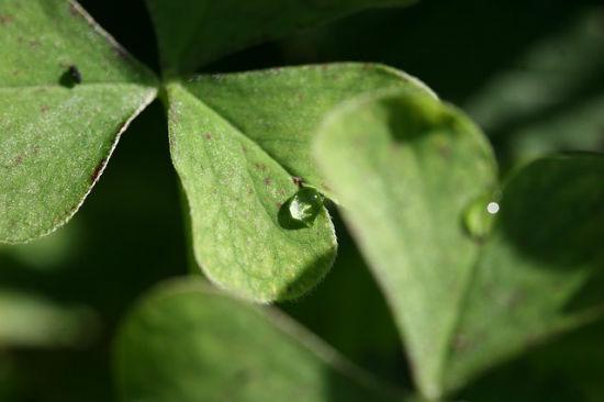 four-leaf-clover-460890_640