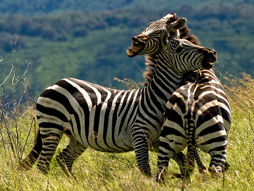 animal-photography-dwelling-zebra