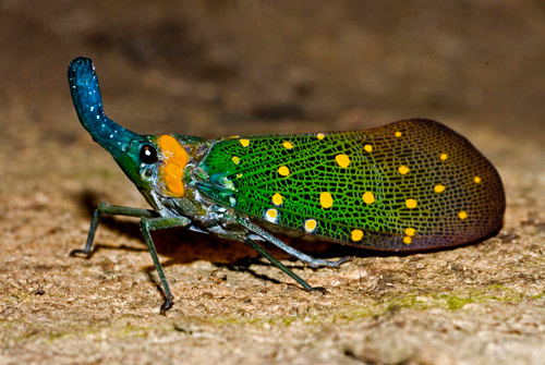 animal-photography-lantern-bug