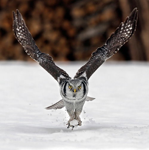 animal-photography-owl
