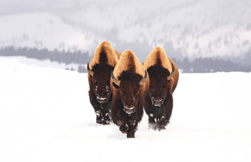 bullbison-animal-photography