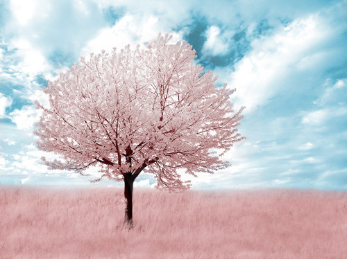 Pink Tree Infrared in Infrared Photography