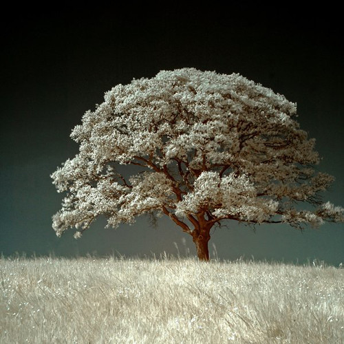 The White Field in Infrared Photography