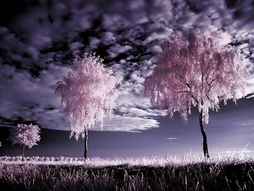 Three Birches Infrared in Infrared Photography