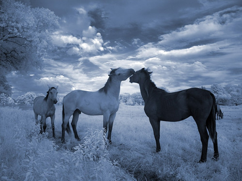Blue Horses Infrared in Infrared Photography