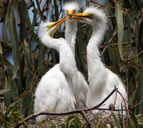 4 of 6 Great Egret (Ardea alba) nest with three chicks at the Morro Bay Heron Rookery
