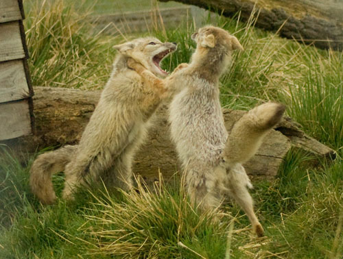 Corsac Foxes (Vulpes Corsac) Fighting, Hamerton Zoo