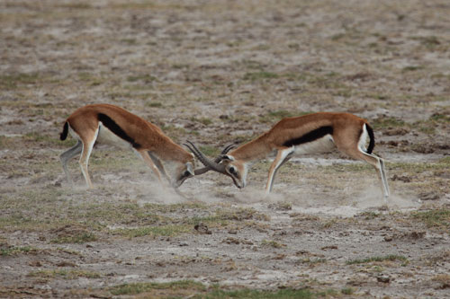 male impalas fighting