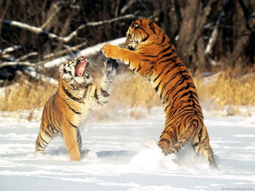 FIGHT BETWEEN TWO TIGERS