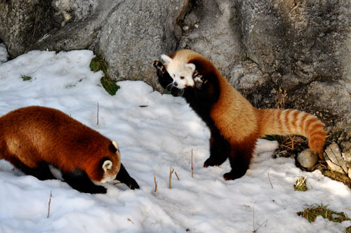 Red Panda Fight!