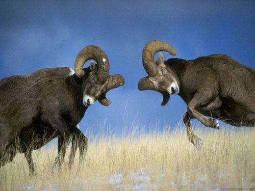 RAMS HAVING A MALE FIGHT