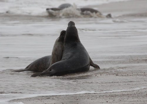 seal fight