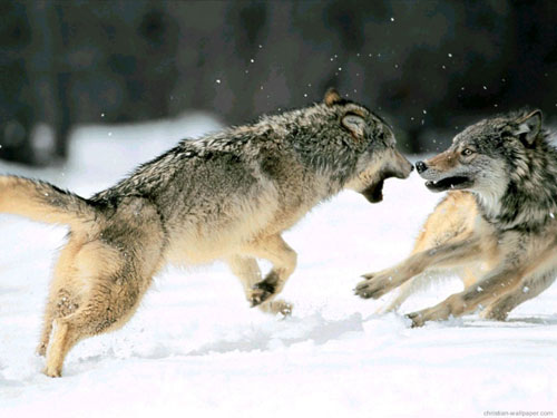 FIGHT BETWEEN TWO WOLVES