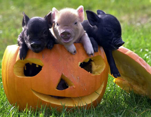 Pig in a pumpkin