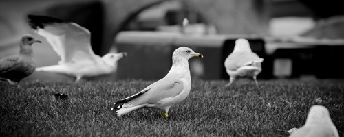 Family of Gulls By dewey2999